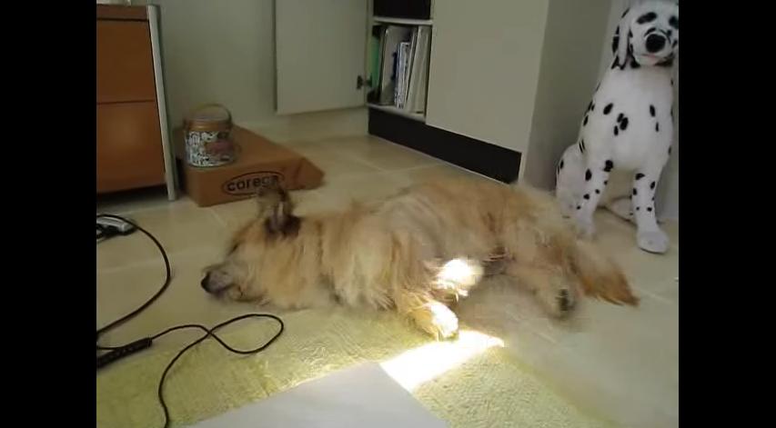夢の中で猛ダッシュするわんこ Dog_running_in_a_dream__Original__-_YouTube_🔊