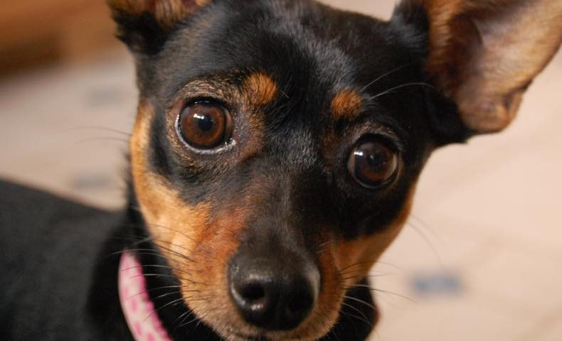 miniature-pinscher1