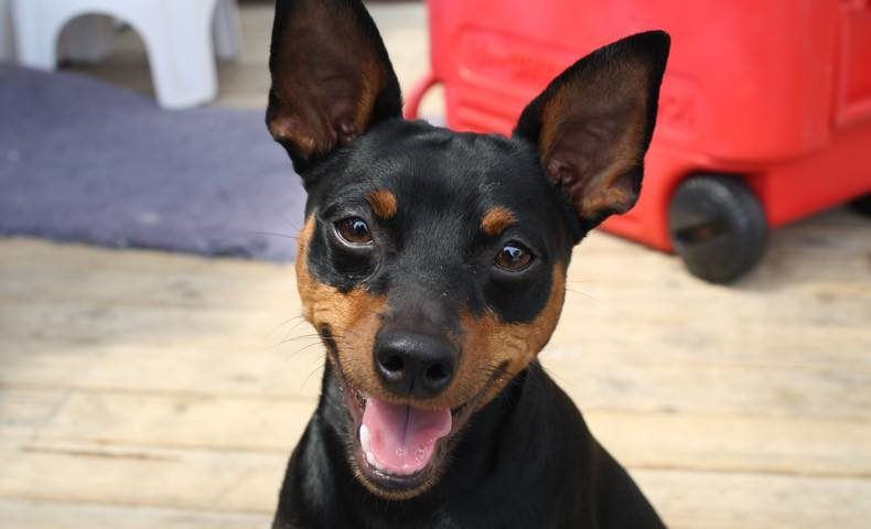 miniature-pinscher2
