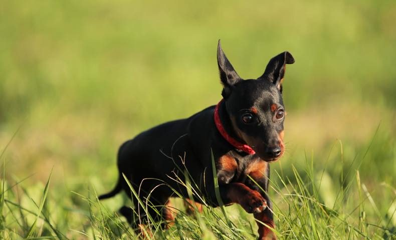 miniature-pinscher4
