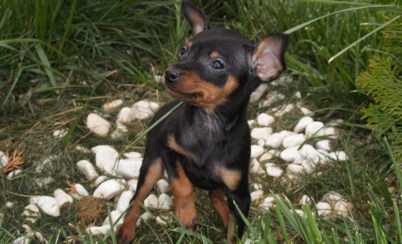 miniature-pinscher7