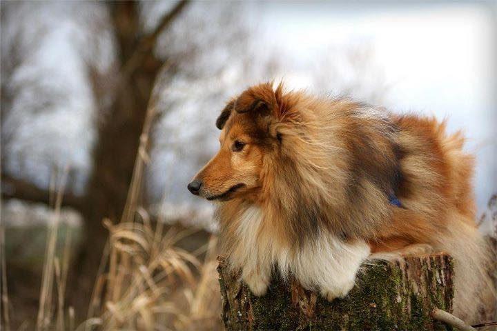 shetland-sheepdog17