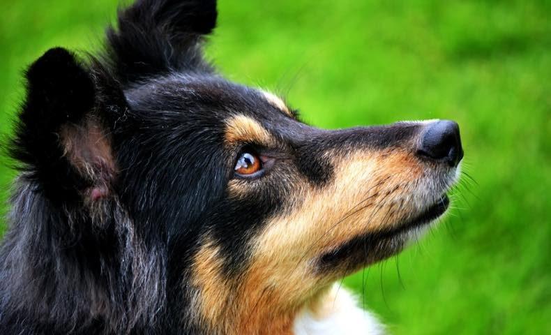 shetland-sheepdog18