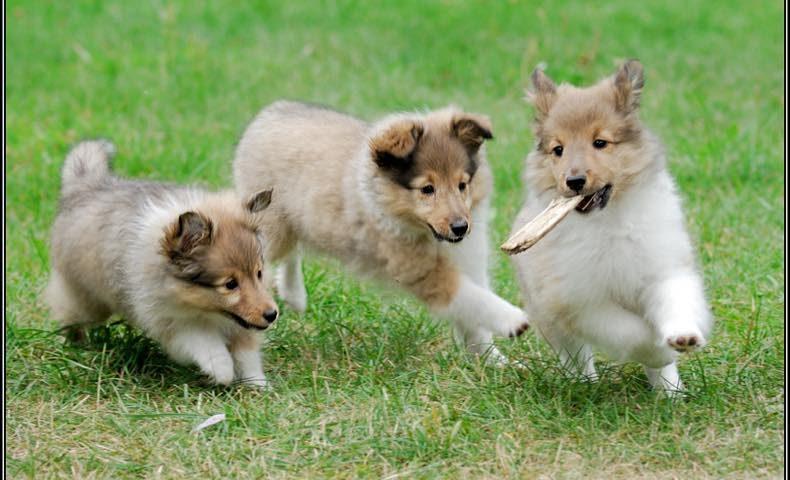 shetland-sheepdog2