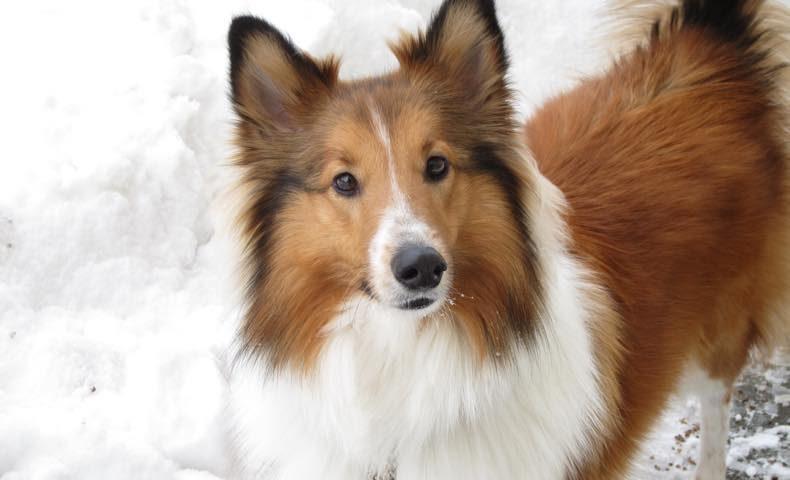 shetland-sheepdog9