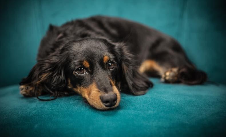 dachshund11