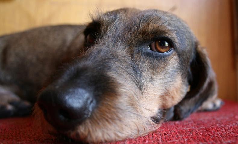 dachshund13
