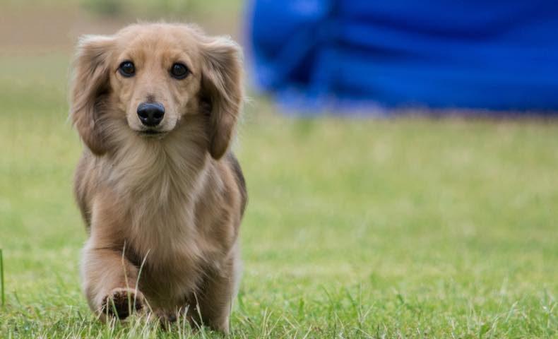 dachshund3