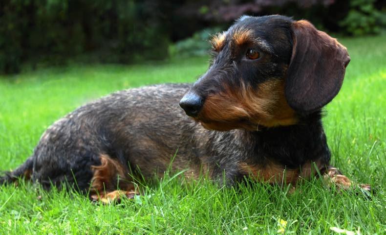 dachshund4