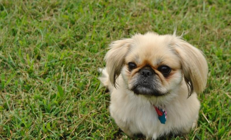 t-molly_the_pekingese_terror_by_glassisolation