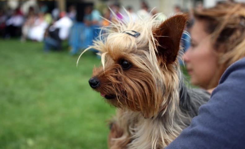 yorkshire_terrier1