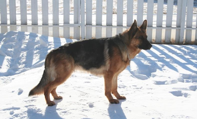 german_shepherd3