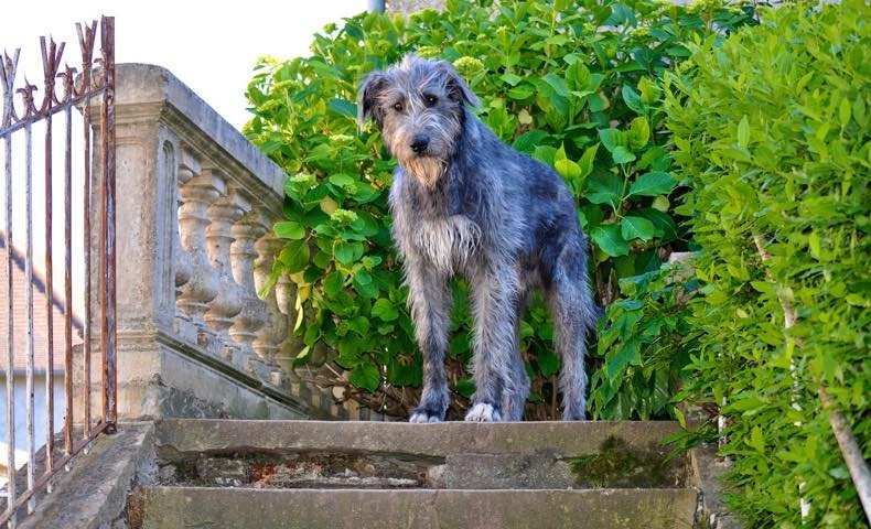 irish-wolfhound1