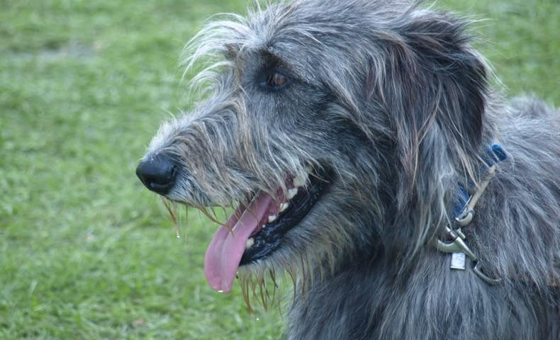 irish-wolfhound4