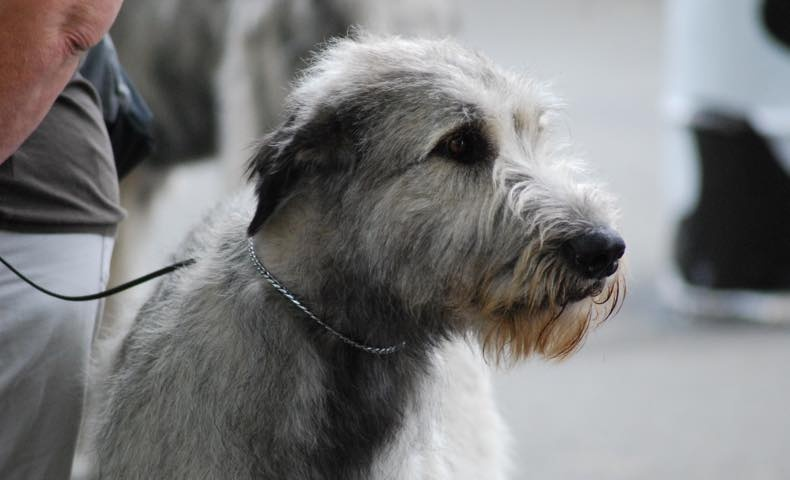 irish-wolfhound5