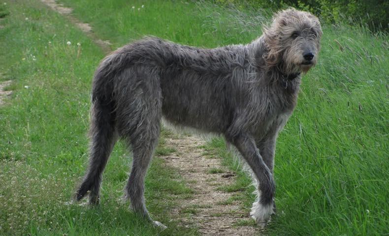 irish-wolfhound7