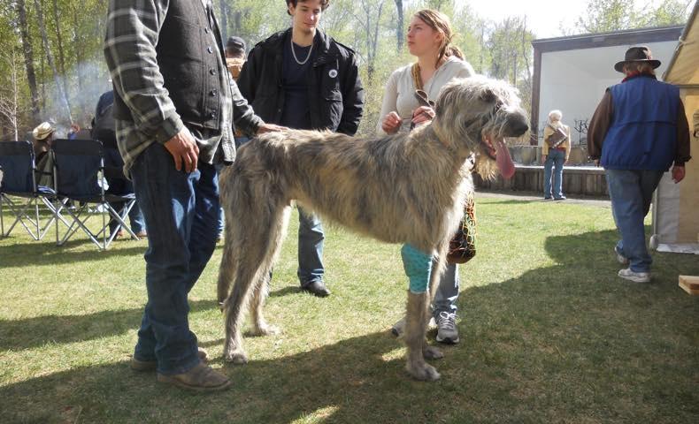irish-wolfhound8