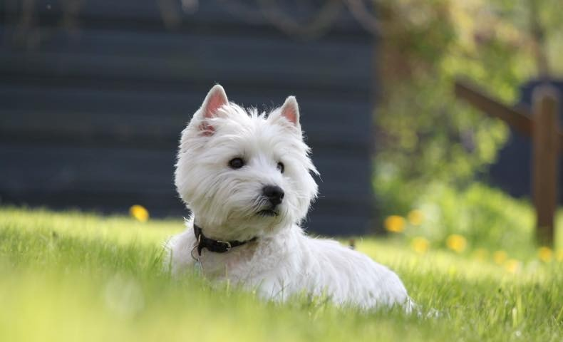 west-highland-white-terrier3