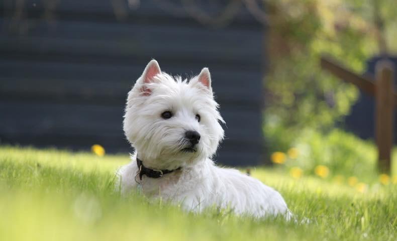 west-highland-white-terrier3