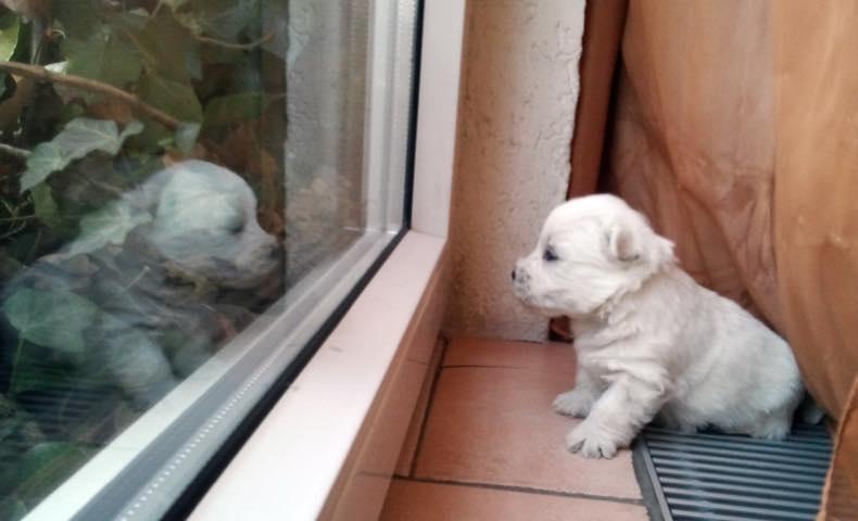 west-highland-white-terrier5