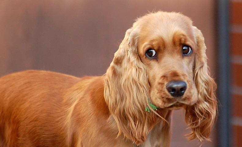 english-cocker-spaniel3